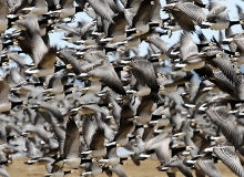 flock of Barnacle Geese