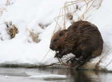 beaver-in-winter