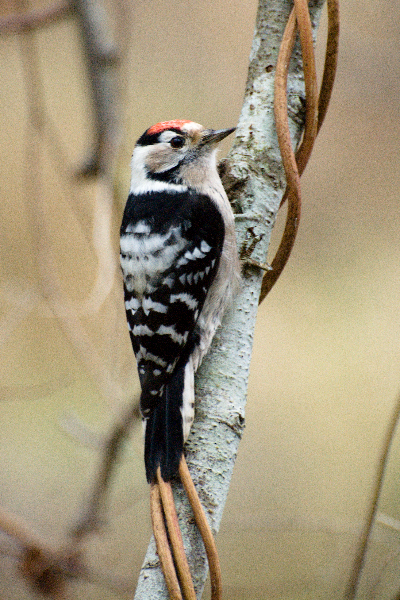 Lesser-spoted woodpecker
