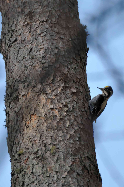 Three-toed-woodpecker