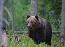 Big male brown bear Sven
