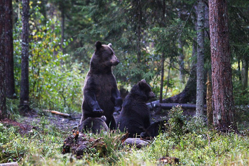 Female brown bear with cubs
