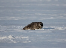 Yong Ringed Seal on ice