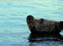 Ringed Seal in Hiiumaa