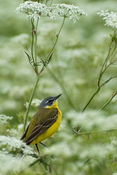 Yellow Wagtail, nominate race (Motacilla flava flava). Aardla, Estonia.