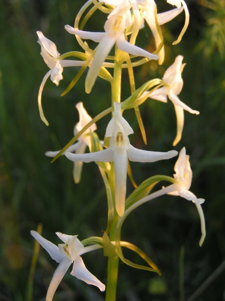 Platanthera bifolia Lesser Butterfly-orchid