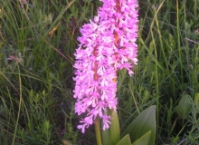 Military Orchid Orchis militaris